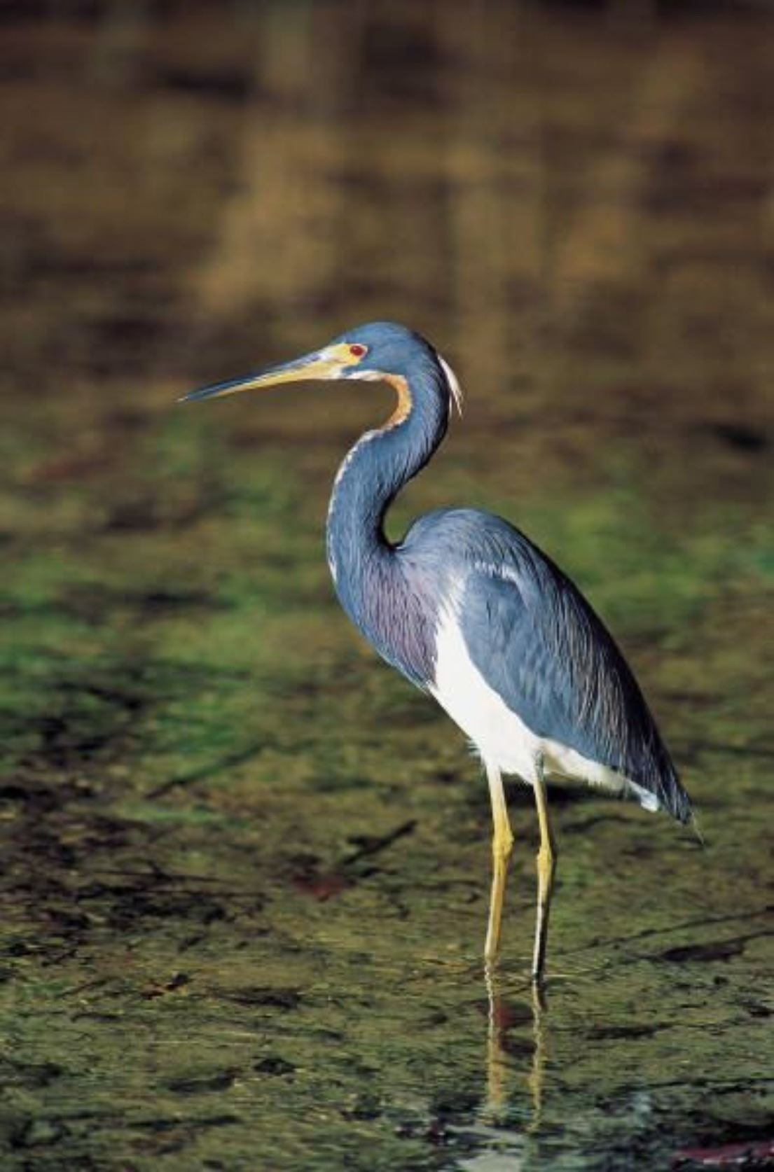 Blue Heron Wading in Shallow Waters